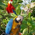 floresta amazônica araras