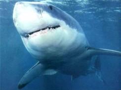 Tubarão em praias brasileiras.